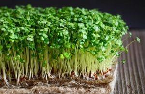 Tác dụng hữu ích và cách chế biến rau mầm Mẹ nên biết